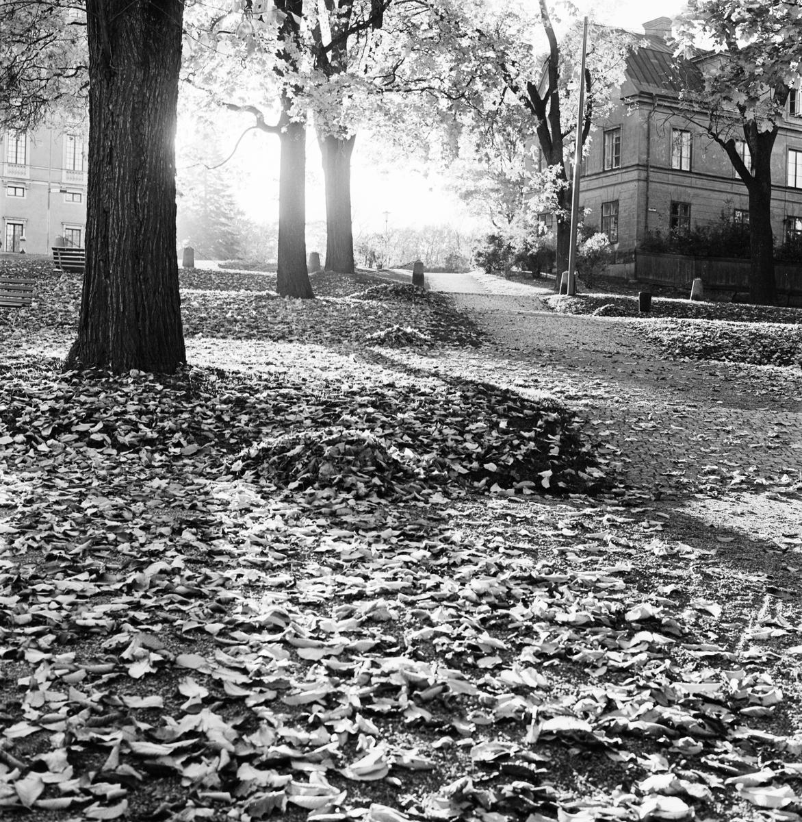 Höstlöv, Odinslund, Uppsala 1964