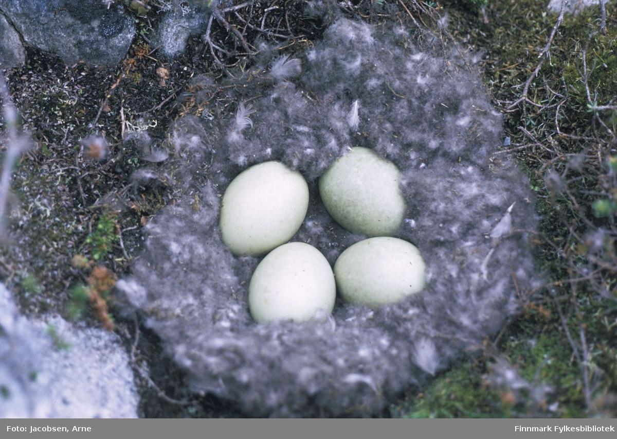 Fuglerede med 4 egg. Eggene er godt omkranset av fjær og dun. Redet ligger rett på bakken med lyng som underlag.