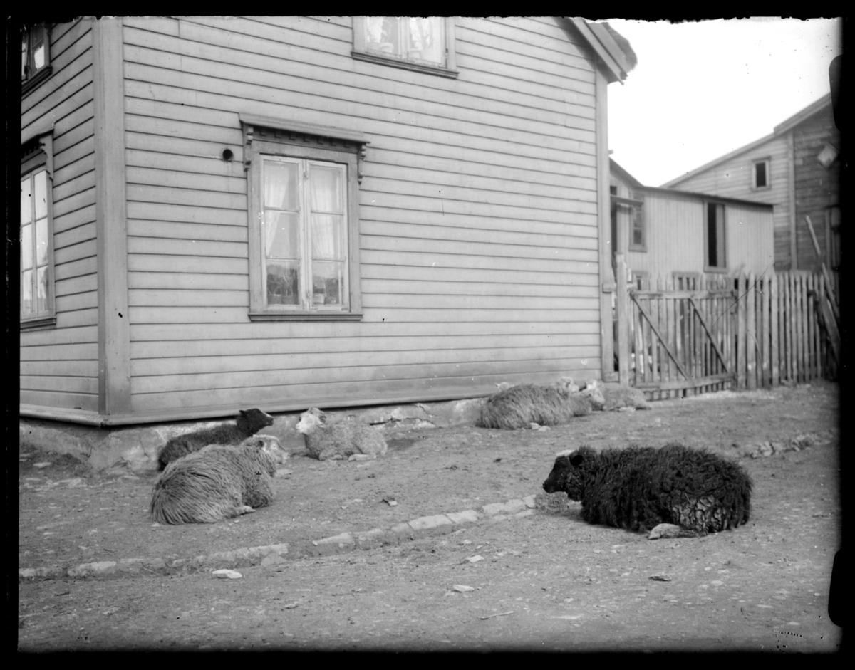 Sauer hviler inntil en husvegg og på fortauet i ei gate i Vardø