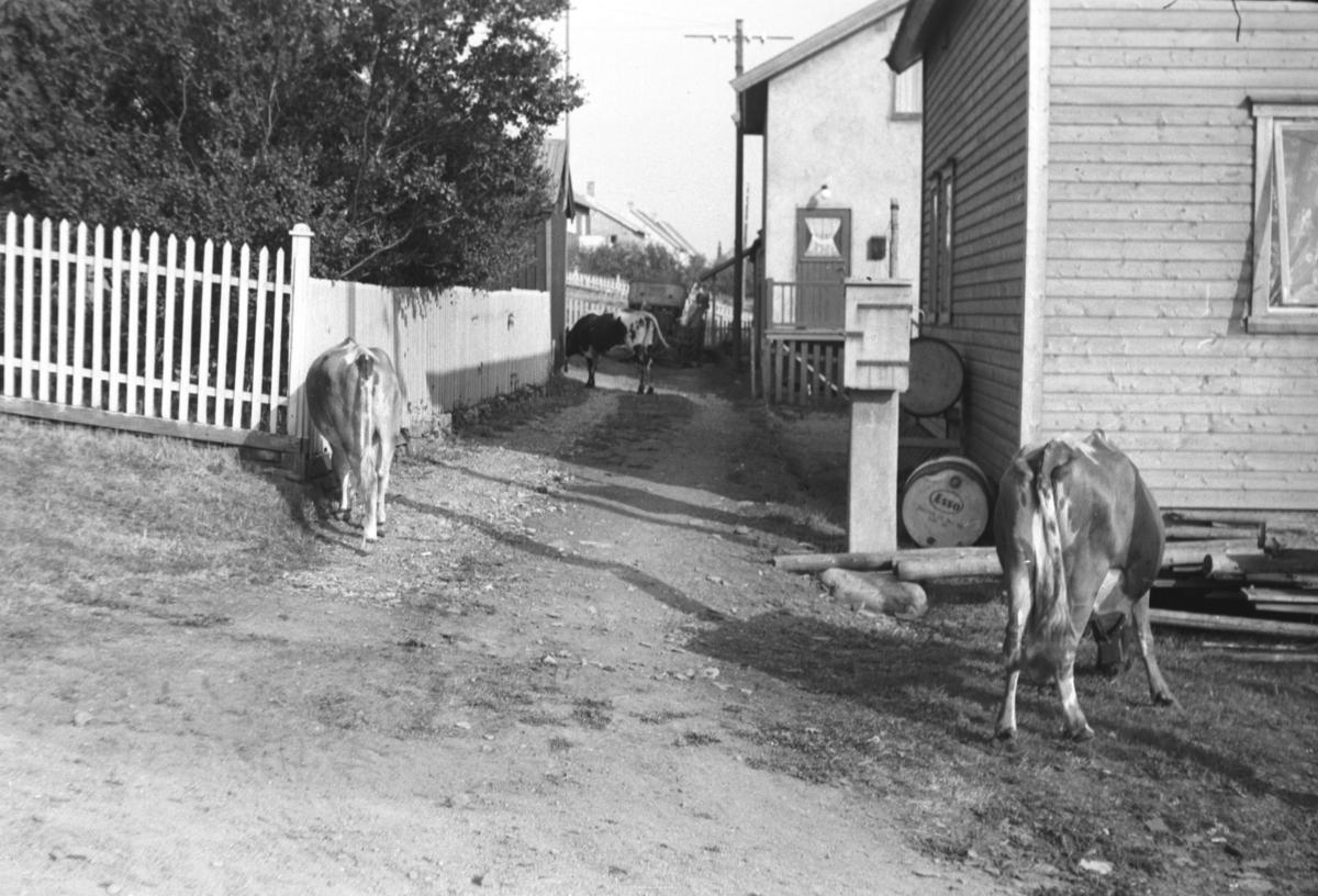 Frittgående kyr i Vadsø, like nedenfor Leif Hauges hus i Nyborgveien.