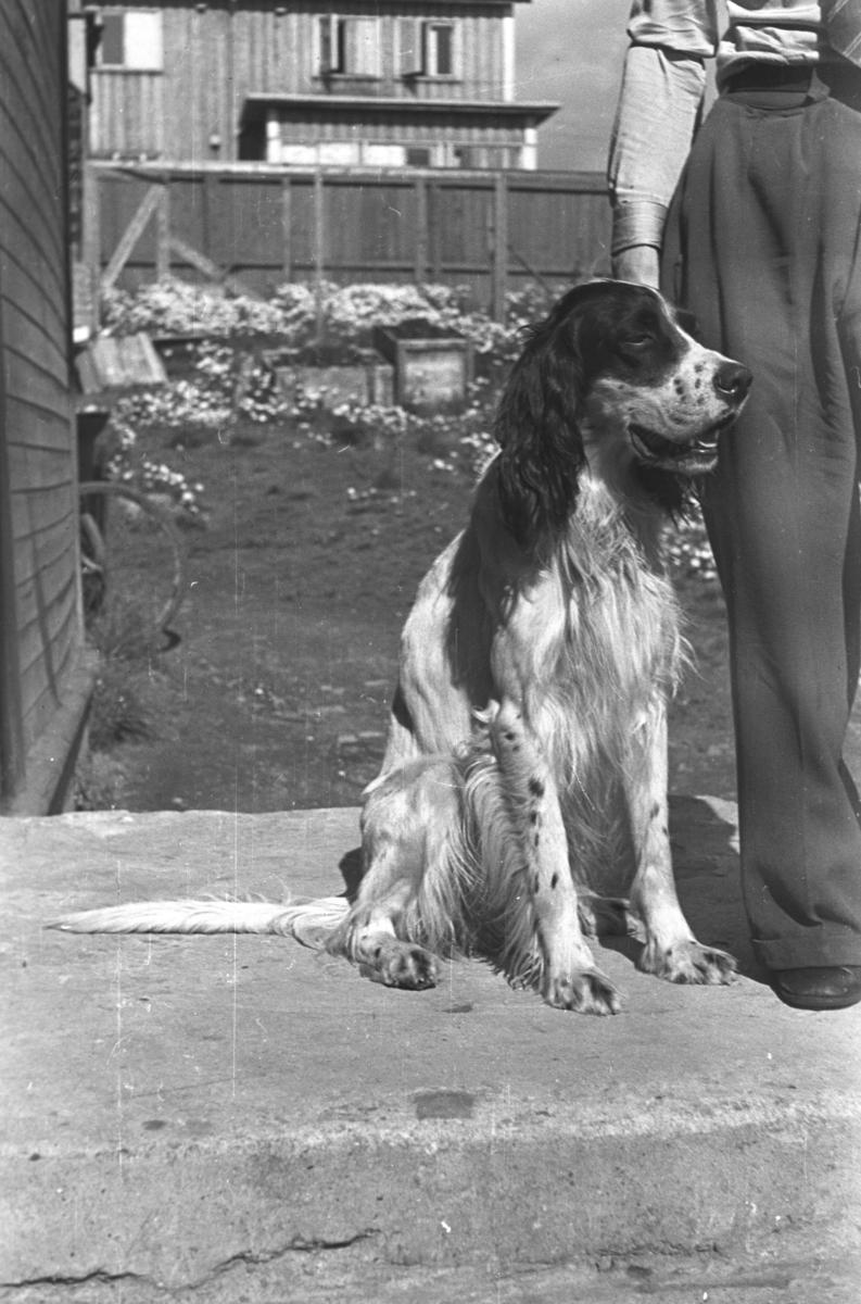 Haldorsens hund, en setter, fotografert på et fortau i Vadsø. Nøyaktig sted er ukjent.
