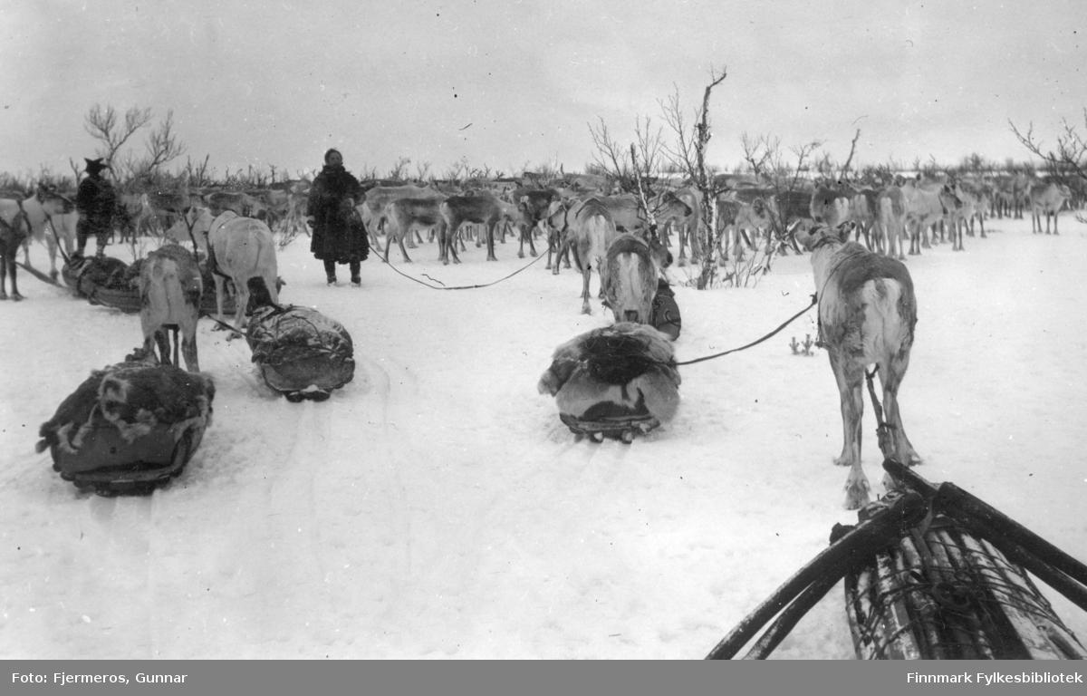 En stor reinflokk er står samlet på et islagt vann. Dyrene nærmest fotografen er festet til sleder. To ukjente personer står litt bak reinflokken. Stedet er også ukjent, men bildet er tatt i april/mai 1948.