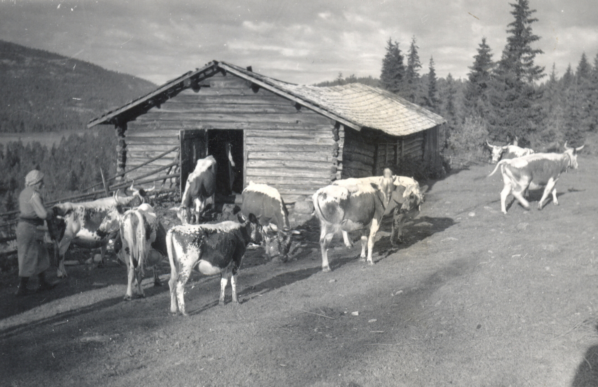 Sommarfjøset på Høystul og kua Statsbot