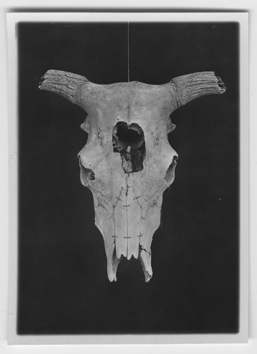 'Skalle av ko, sedd ovanifrån. Förminskning 9 ggr. Text på baksidan av fotot: ''Bos taurus frontosus från Grästorp i sydöstra Skåne, i närheten av Simrishamn. Är det bäst bevarade av hittills kända Bos taurus frontosus kranier. Även underkäken, som hittills varit okänd för Bos taurus frontosus, har anträffats. '' ::  :: Ingår i serie med fotonr. 2966-2968.'