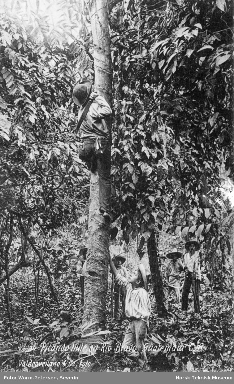 Høsting av frukt, Guatemala