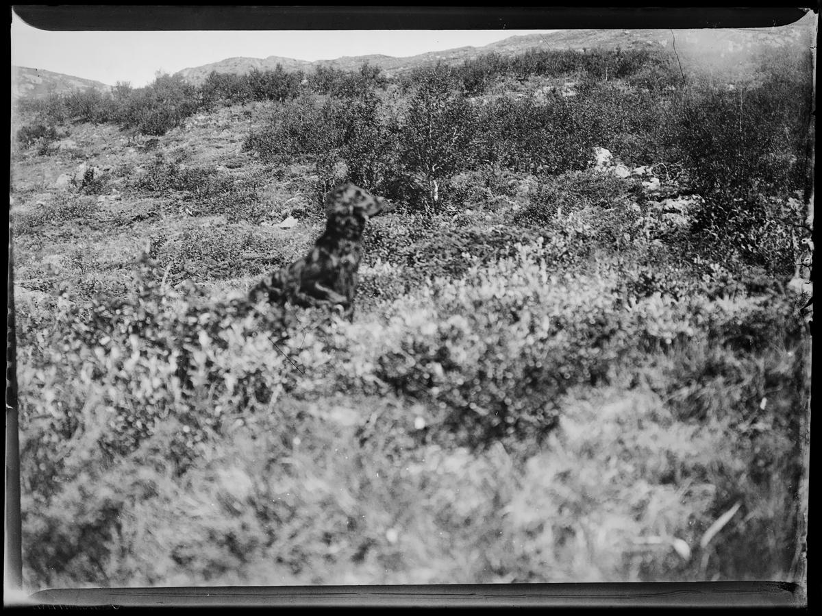 En jakthund i lyngen på fjellet. Antagelig rundt Sjølisæter i Stor-Elvdal (Hedmark).