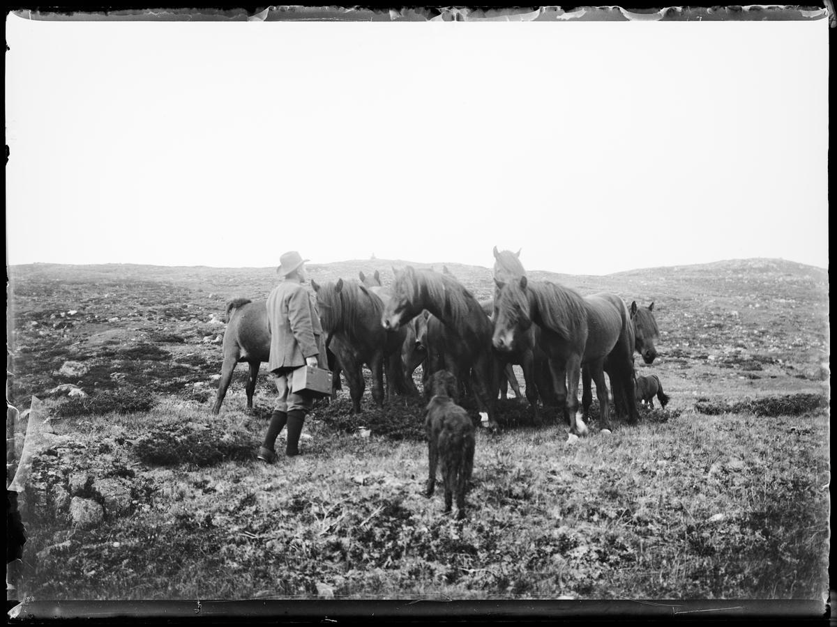 """Heimdalen 1906"" (inskr eske). Fra Sjølisæter ved Atnsjøen. En flokk hester (Døling) står samlet på fjellet. En mann i hatt og nikkers står med en hund ved flokken."