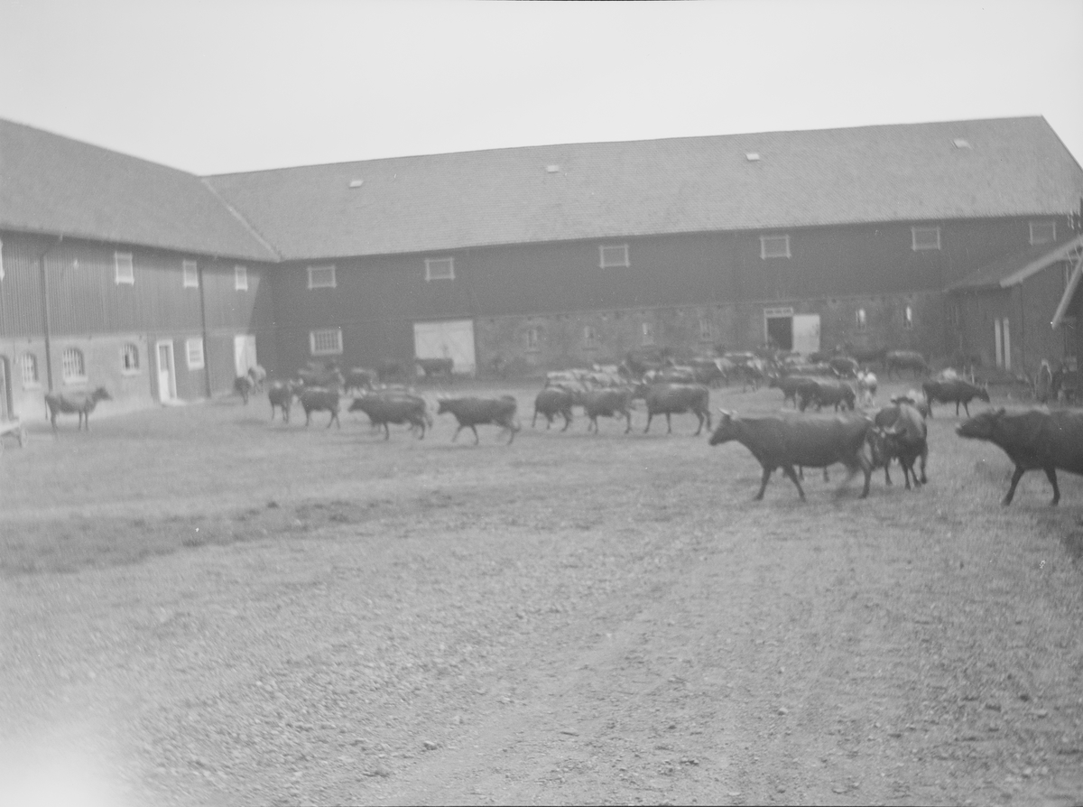 Gårdplassen utenfor driftsbygningene på Linderud Gård full av kyr på vei mot beitet. Bildet er tatt i sommerhalvåret.