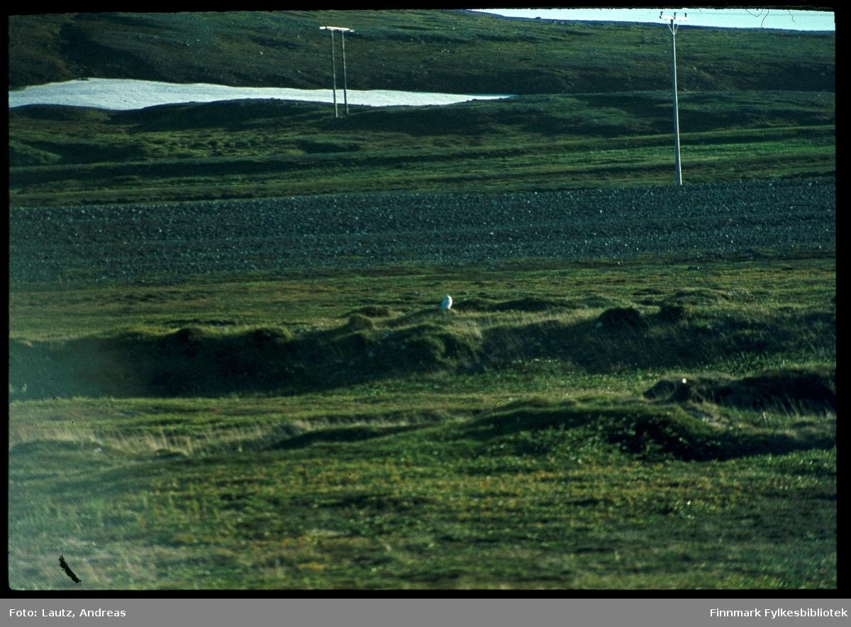 Domen ved Vardø. 1979. Snøugle.