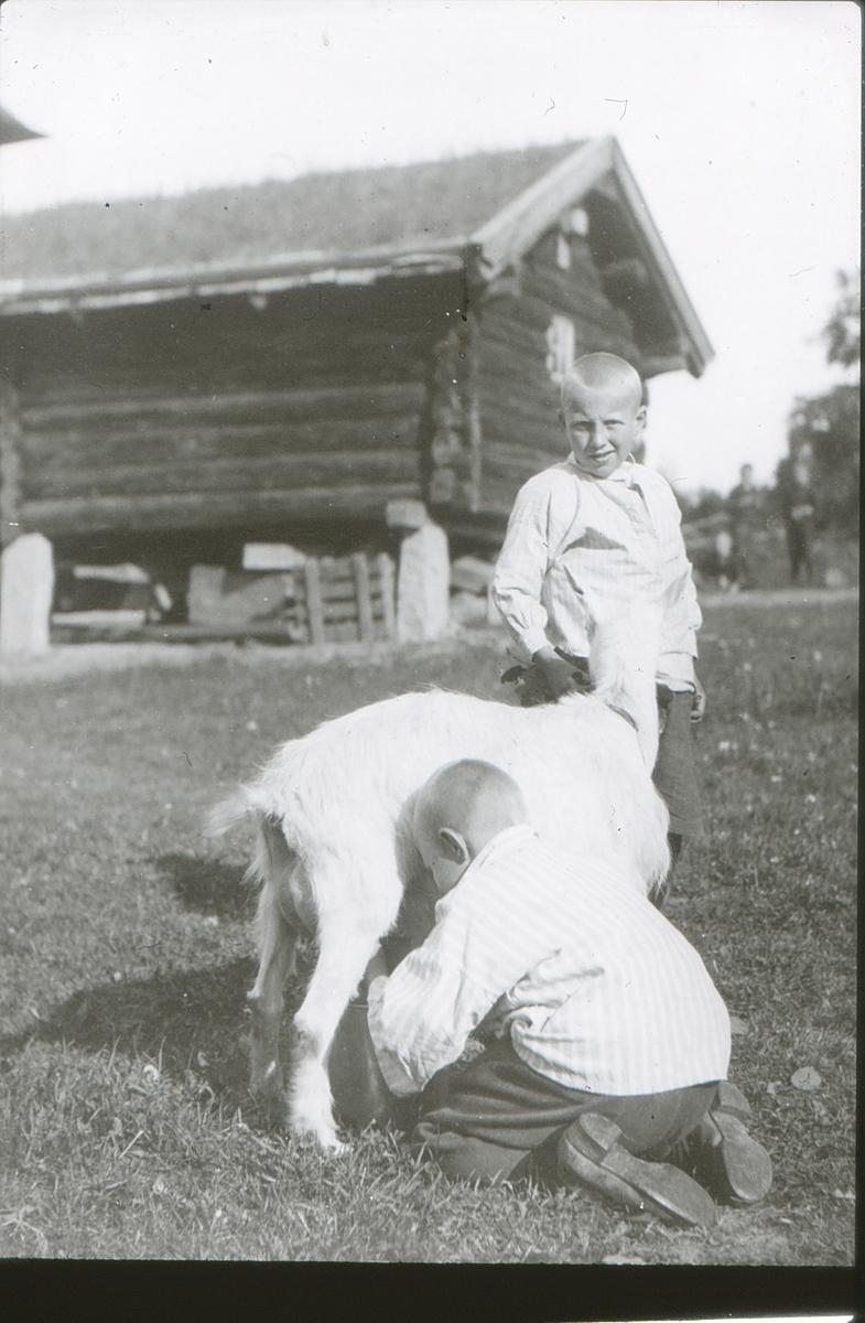 To gutter på friluftsskolen Vangen melker geita.