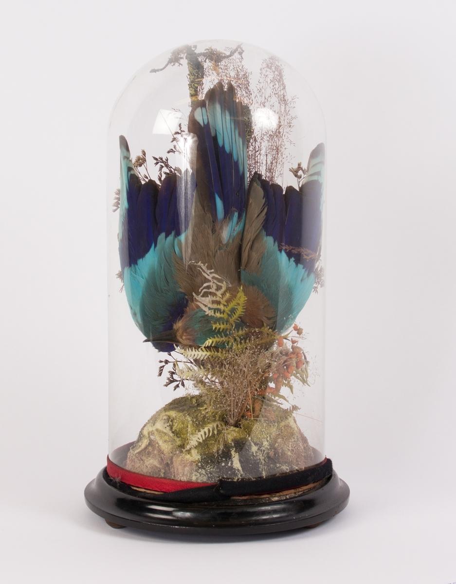 Utstoppet blå fugl og tørkede greiner i glassklokke på tresokkel. Den originale glassklokken er sannsynligvis knust og byttet ut med plexiglass.
