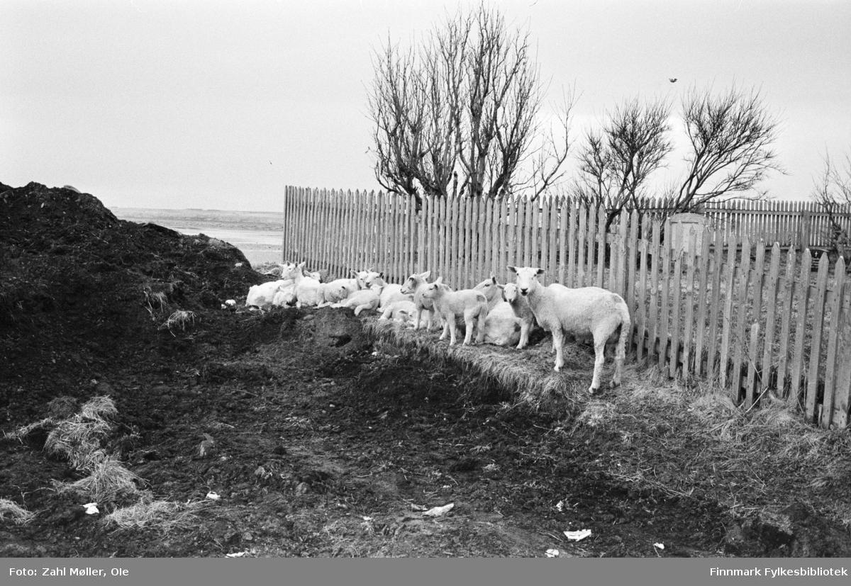 Fotoserie fra Vadsø, april 1968. Fotografert av Vadsøfotografen Ole Zahl-Mölö. Sauene er nyklippet og lammene er sluppet ut i vårløsninga. De har samlet seg langs gjerdet inn mot en hage i ly for en stor haug med jord.