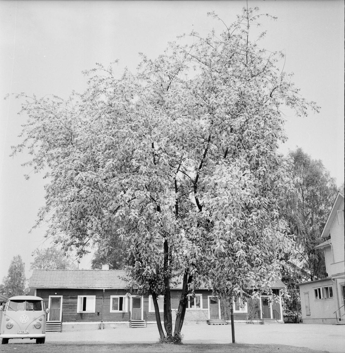 Arbrå, Hägg, Blommande vid värdshuset, Juni 1972