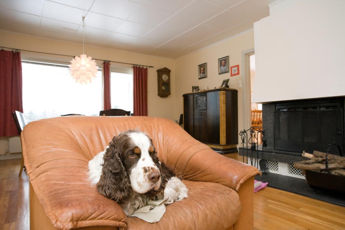 Hunden Balder koser seg in sin stol i stuen.