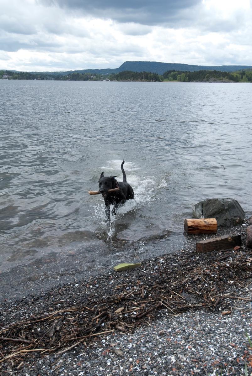 Hunden Chico på tur kommer tilbake med en pinne som er blitt kastet i vannet.