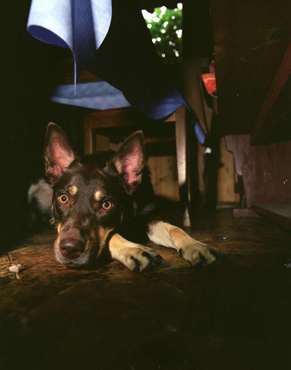 Hunden Ronja ligger under bordet på kjøkkenet.