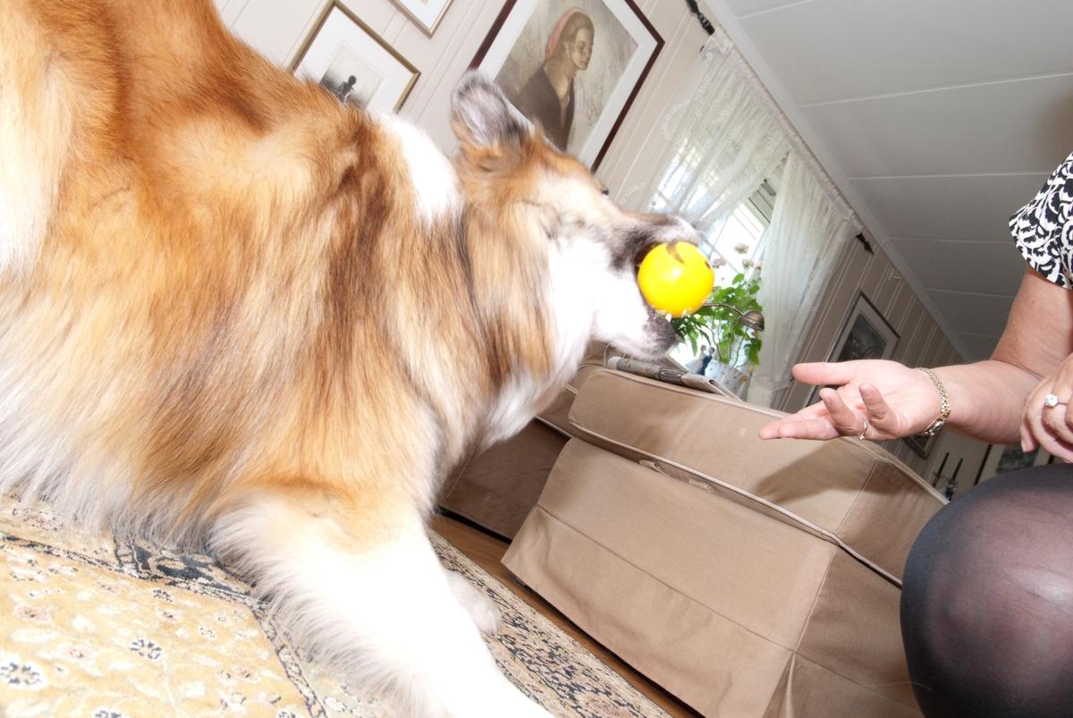 Hunden Romeo leker med en hundeleke og sin eier.