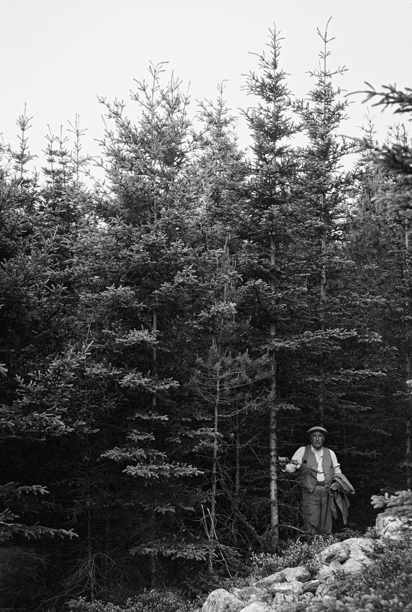 Frodig, utynnet plantefelt med gran i en bakkeskråning på Frøya i Sør-Trøndelag.  Fotografiet er tatt i 1933, på et tidspunkt da det nok var på tide å tynne skogen her.  En mann, antakelig en grunneier eller skogfunksjonær, sto i utkanten av bestandet, vendt mot fotografen da dette bildet ble tatt.