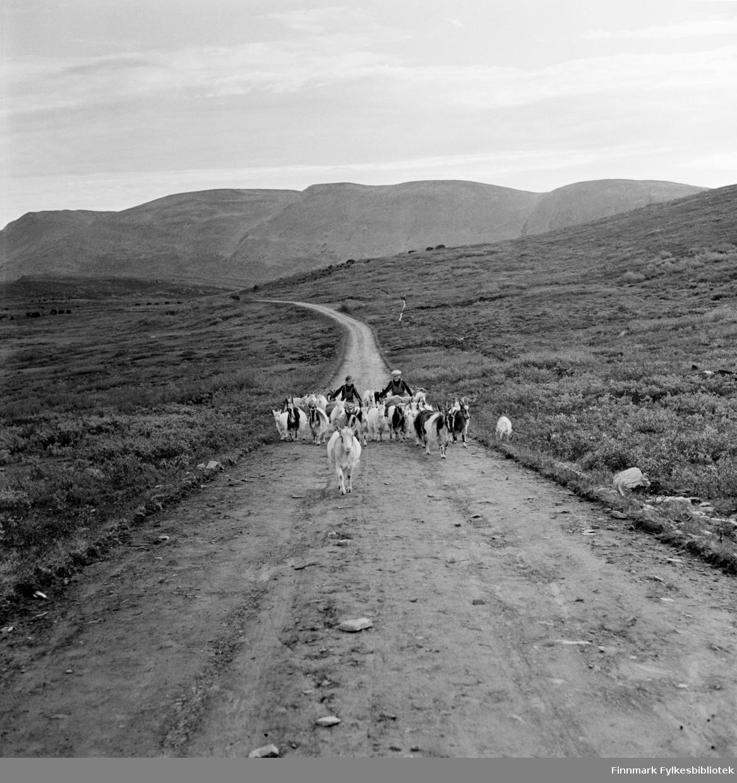 Den gamle veien mot Kjøllefjord fotografert i 1940. I dag er bilveien anlagt lengre ned på venstre side av veien på bildet, men det finnes fortsatt spor av denne veien i naturen. To gutter har hentet geitene på fjellet og har samtidig hentet torv som de triller på to store, hjemmelagde trillebårer. Det er to bilder i serien, dette og i neste bilde ser man bare guttene med hjemmelagde trillebårer bygd i tre. Guttene har spent et tau i hvert håndtak og hektet tauet over skuldrene for å fordele den tunge vekten av torv og holde trillebåra i balanse. Se også FBib.18010-034 og FBib.18010-036 som viser samme motiv med ulike utsnitt.