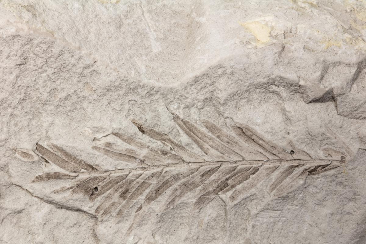 Ett fossil av ett blad från en lummerväxt från en blomväxt som sätter frön inneslutna i en frukt (Angiospermer). Exemplaret kommer från dåvarande Bilin i Böhmen i Österrike-Ungern och ingår i Adolf Andersohns samling.