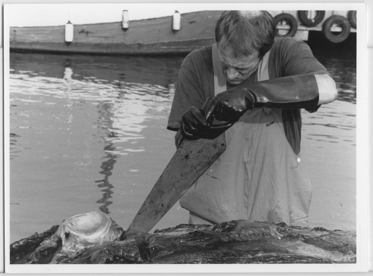 'Skelettering ::  :: Omhändertagandet av vikvalen, Nya Varvet. Flera personer från museet arbetar med valen: ::  :: Ulf Larsson skeletterar med hjälp av såg. ::  :: Ingår i serie med fotonr. 6729:1-18.'