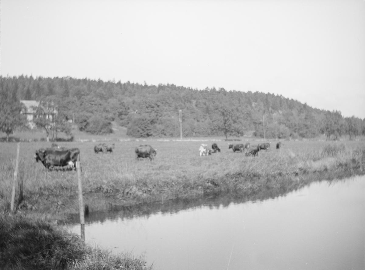 Kuene ved dammen. I bakgrunnen sees lave skogkledte åser samt et hus. Man ser hvor landeveien går.