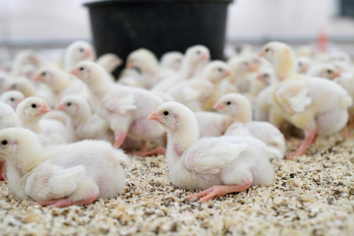 Kyllinger i kyllingefarm