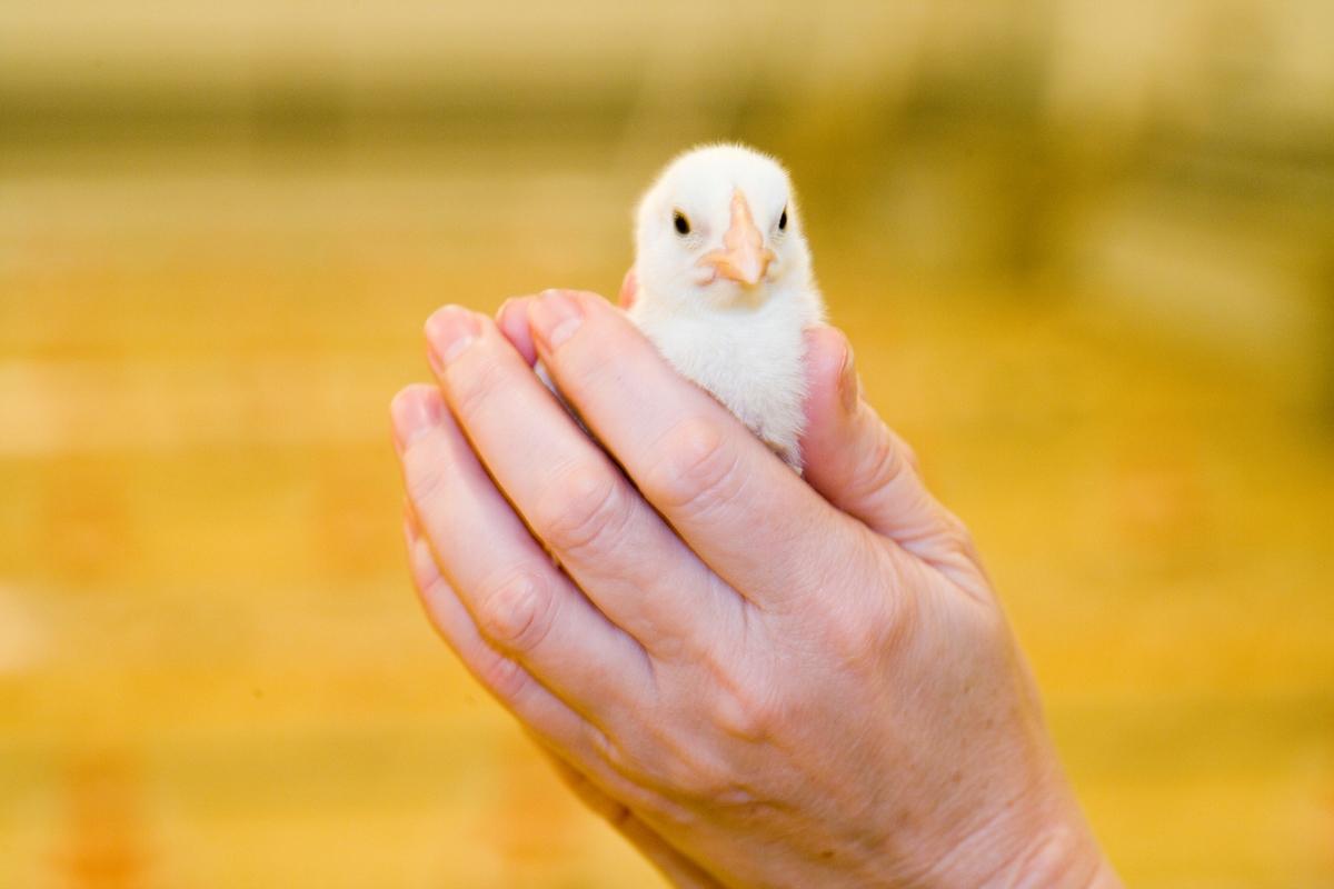 Hender holder en kylling