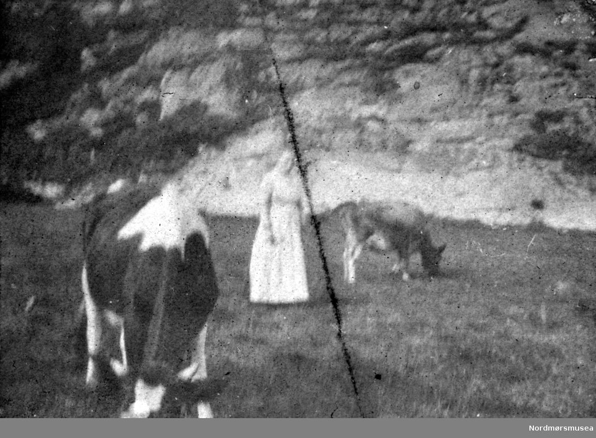 Uklart foto av ei kvinne, her sammen med to kyr. Ukjent hvor. Datering er også ukjent, men trolig omkring 1918 til 1919. Bildet ble gitt til Nordmøre museum av Nelly Rødsand 5. september 1983. Fotoalbumet består av bilder med reg. nr. KMb-1983-024.0049 til KMb-1983-024.0223. Flere bilder fra andre album er å finne på samlingsnummer KMb-1983-024. Fra Nordmøre museums fotosamlinger.