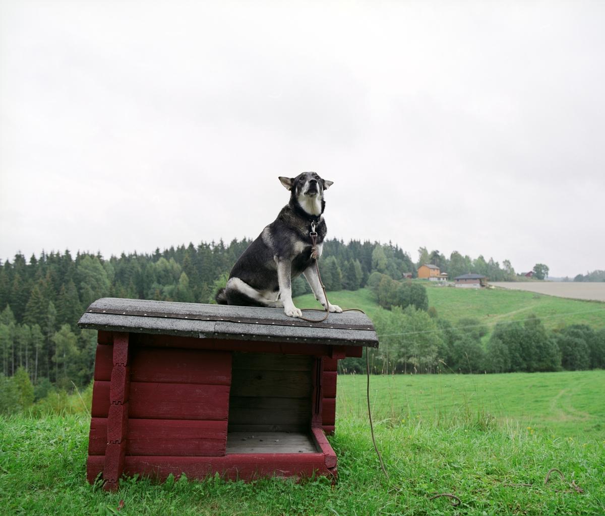 En hund sitter i line oppe på et hundehus.