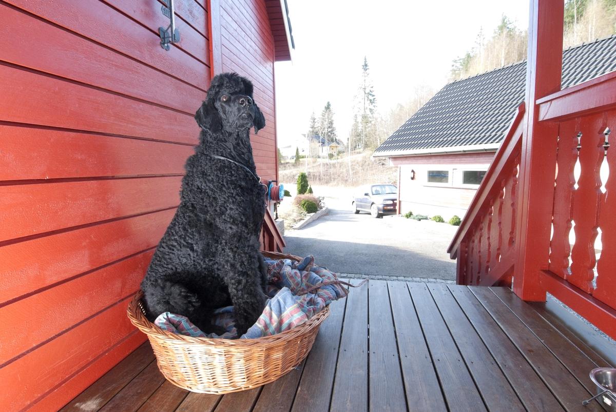 Hunden Pedro sitter i sin hundekurv ut på verandaen.