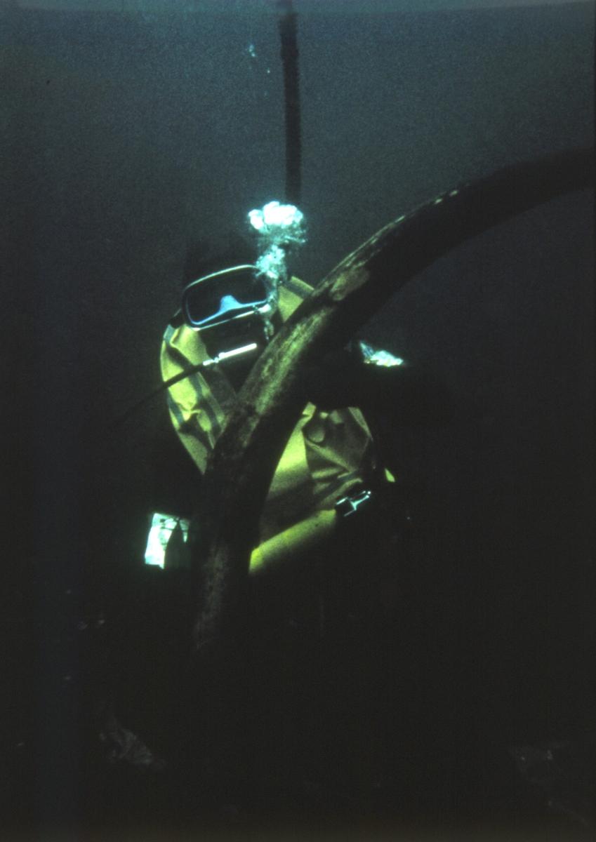 Dykker med ene elefanttann under utgravingen av slaveskipet 'Fredensborg' i 1975