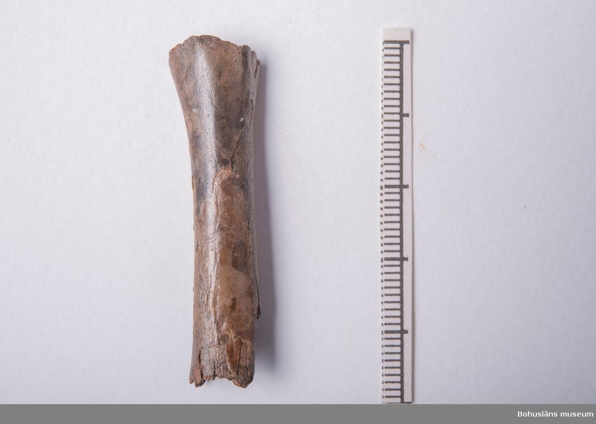 Skenben av gås, upphittad tillsammans med en benmejsel och ett bearbetat skenben (UM006514:07 + UM006514:05).   Se Konserveringsrapport K88-26.  294 Landskap BOHUSLÄN