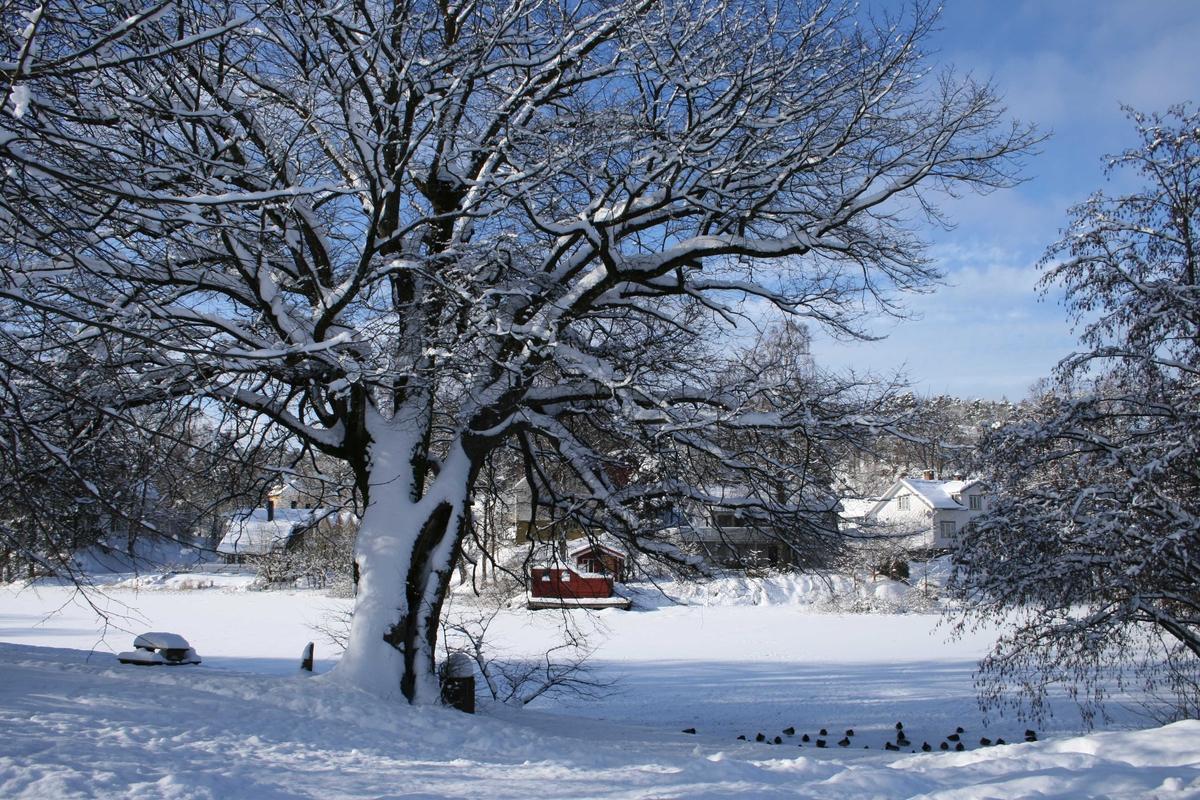 Langsævannet, dekket av snø og is Stort eiketre i Langsæparken. Sett fra lyskrysset.