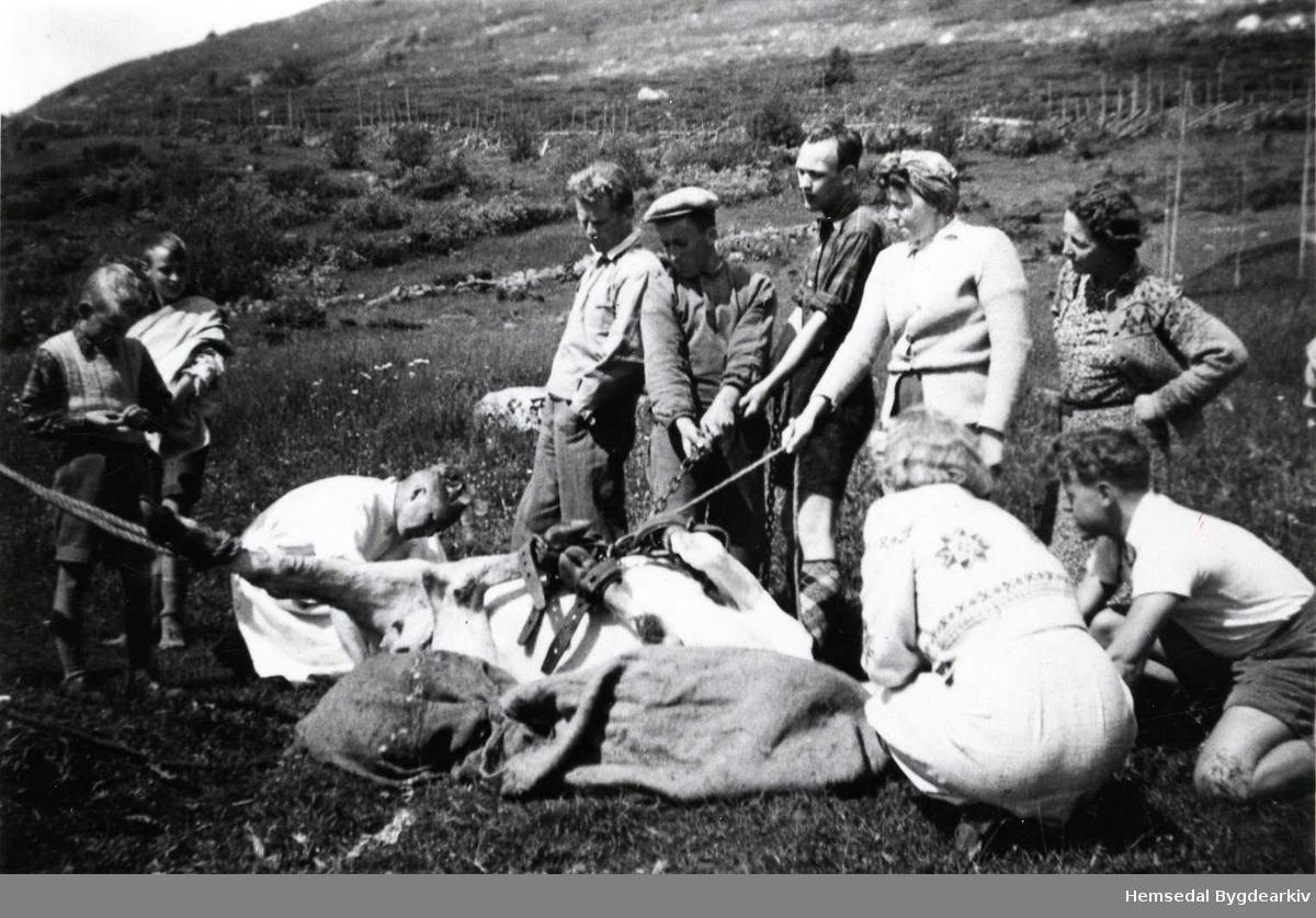 Dyrlækjarhandsaming av kyr på Ulsåkstølen i Hemsedal i 1942. Karen med skyggelue er Olav Ulsaker. Dei andre som står kring er byfolk.
